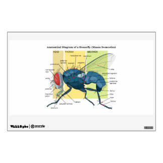 Anatomy of a Housefly Diagram Musca Domestica Wall Decor