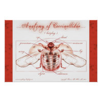 Anatomy of a Ladybug (Coccinellidae) Poster print