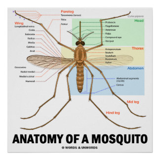 Anatomy Of A Mosquito (Entomology) Posters