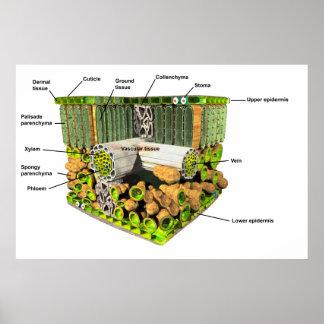 Anatomy of a plant leaf poster