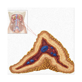 Anatomy Of Adrenal Gland, Transverse Section Gallery Wrap Canvas