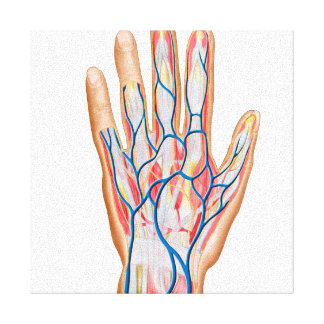 Anatomy Of Back Of Human Hand Stretched Canvas Prints