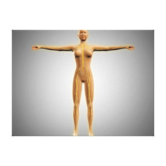 Anatomy Of Female Body With Nervous System Canvas Print