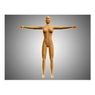 Anatomy Of Female Body With Nervous System Postcard