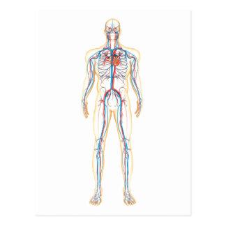 Anatomy Of Human Body And Circulatory System Postcard