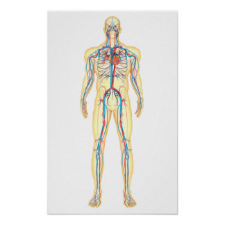 Anatomy Of Human Body And Circulatory System Poster