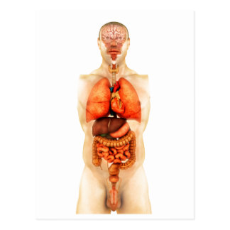 Anatomy Of Human Body Showing Whole Organs 1 Postcard