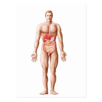 Anatomy Of Human Digestive System, Male Postcard