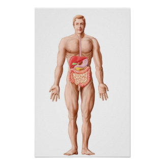 Anatomy Of Human Digestive System, Male Posters