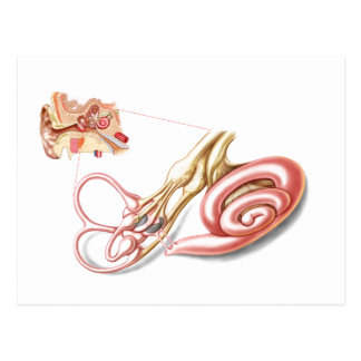 Anatomy Of Human Ear, Membranous Labyrinth Postcard