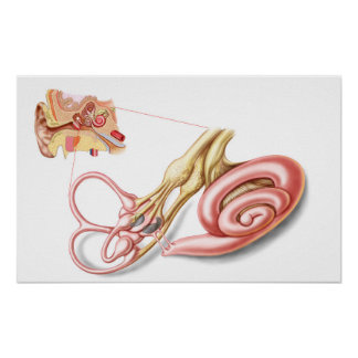 Anatomy Of Human Ear, Membranous Labyrinth Poster