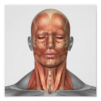 Anatomy Of Human Face And Neck Muscles, Front Poster