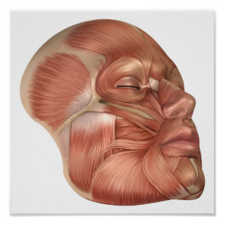 Anatomy Of Human Face Muscles Posters
