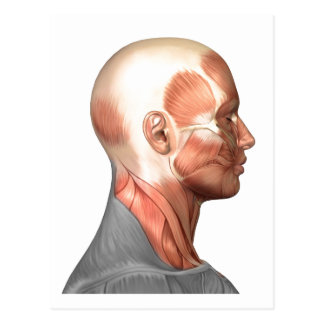 Anatomy Of Human Face Muscles, Side View Postcard