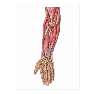 Anatomy Of Human Forearm Muscles 1 Postcard