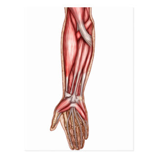 Anatomy Of Human Forearm Muscles 2 Postcard
