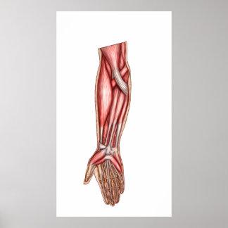 Anatomy Of Human Forearm Muscles 2 Print