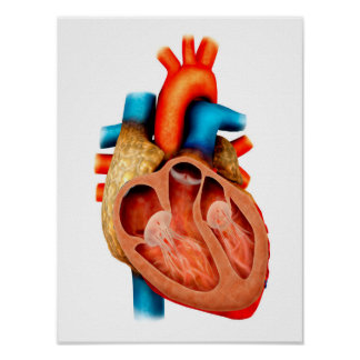 Anatomy Of Human Heart, Cross Section Poster