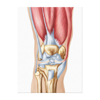 Anatomy Of Human Knee Joint Canvas Prints