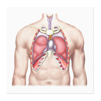 Anatomy Of Human Lungs In Situ Canvas Print