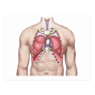 Anatomy Of Human Lungs In Situ Postcard