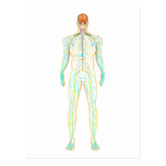 Anatomy Of Human Nervous And Lymphatic System Postcard