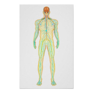 Anatomy Of Human Nervous And Lymphatic System Poster