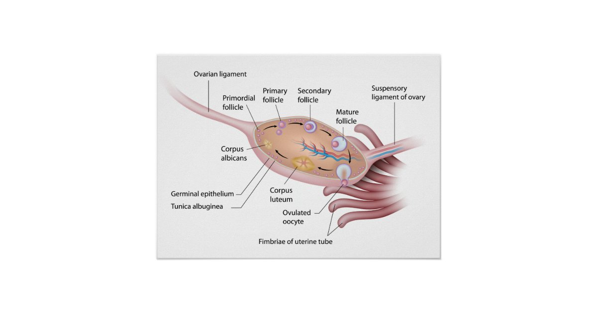 Anatomy Of Human Ovary Labeled Diagram Poster