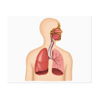 Anatomy Of Human Respiratory System Canvas Print