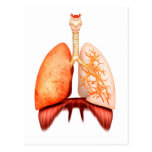 Anatomy Of Human Respiratory System, Front View Postcard