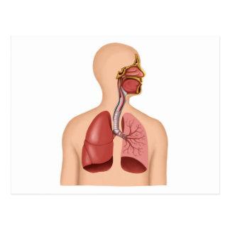 Anatomy Of Human Respiratory System Postcard