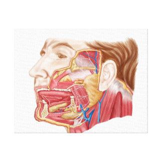 Anatomy Of Human Salivary Glands Canvas Print