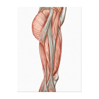 Anatomy Of Human Thigh Muscles, Anterior View Canvas Print