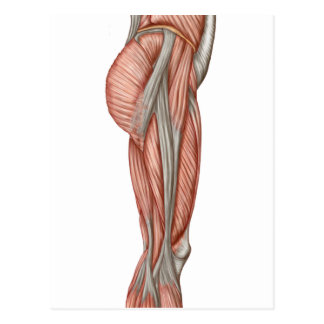 Anatomy Of Human Thigh Muscles, Anterior View Postcard