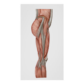 Anatomy Of Human Thigh Muscles, Anterior View Poster