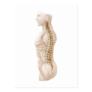 Anatomy Of Human Vertebral Column, Left Lateral Postcard