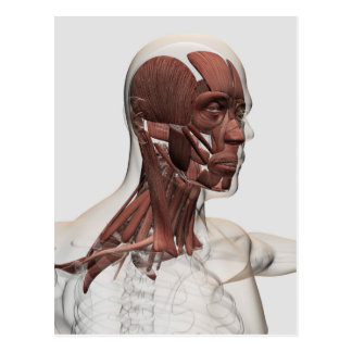 Anatomy Of Male Facial And Neck Muscles, Front Postcard