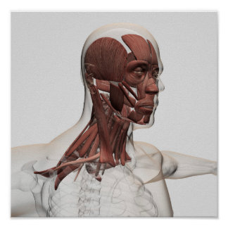 Anatomy Of Male Facial And Neck Muscles, Front Poster