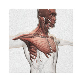 Anatomy Of Male Muscles In Upper Body, Anterior Canvas Print