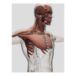 Anatomy Of Male Muscles In Upper Body, Anterior Postcard