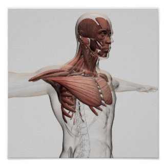 Anatomy Of Male Muscles In Upper Body, Anterior Poster