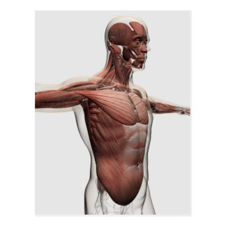 Anatomy Of Male Muscles In Upper Body, Side View Postcard