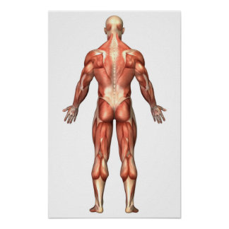Anatomy Of Male Muscular System, Back View Poster