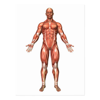 Anatomy Of Male Muscular System, Front View 2 Postcard