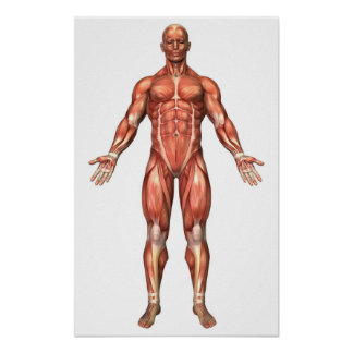 Anatomy Of Male Muscular System, Front View 2 Print