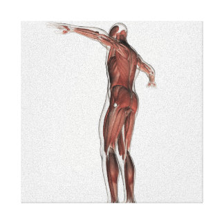 Anatomy Of Male Muscular System, Posterior View Canvas Print