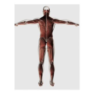 Anatomy Of Male Muscular System, Posterior View Postcard