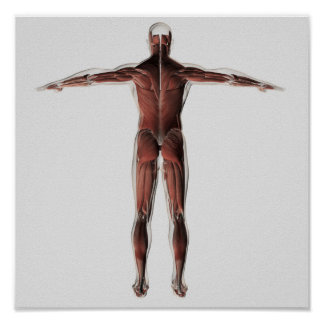 Anatomy Of Male Muscular System, Posterior View Poster