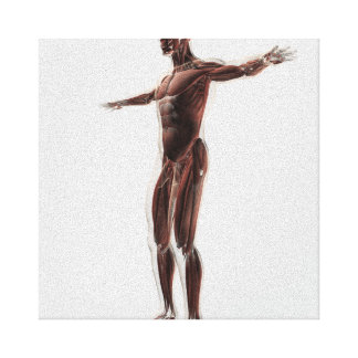 Anatomy Of Male Muscular System, Side View 2 Gallery Wrapped Canvas