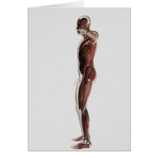 Anatomy Of Male Muscular System, Side View 3 Card